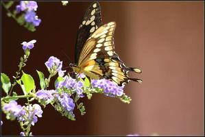 borboleta rabo de andorinha gigante