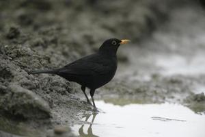 Blackbird, Turdus merula, photo