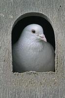 Domestic pigeon,  Columba livia photo