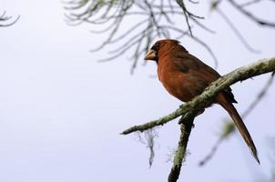 cardenal norteño encaramado foto