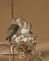 Juvenile Ruby Throated Hummingbirds photo