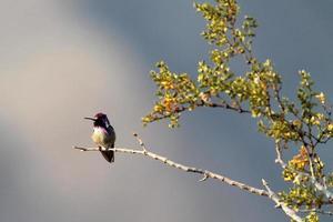 colibrí de costa masculina foto