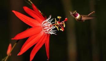 Passiflora coccinea con colibrí foto