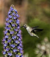 colibrí de anna foto