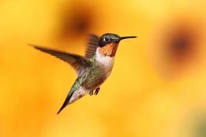 Colibri à gorge rubis en vol