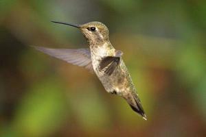 colibrí en vuelo foto