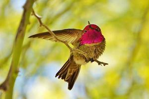 colibrí estiramiento foto