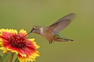 hembra de colibrí de cola ancha (selasphorus platycercus) foto