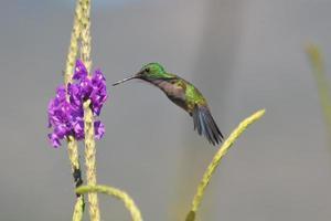 Purple throated hummingbird gathering nectar photo