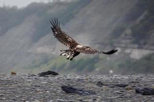 Close-up inmaduro águila calva en vuelo a lo largo de la costa de Alaska foto