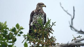 juvenil águila calva tercera toma foto