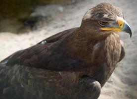 Steppe eagle photo