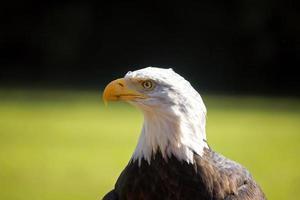 Águila calva foto