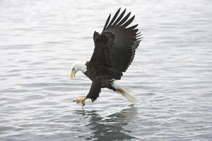 águila calva americana obtener un pez foto