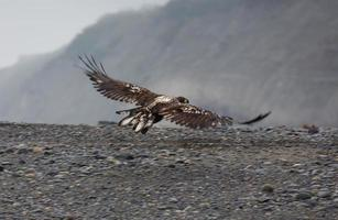 Immature bald eagle flies over rocky beach looking for food