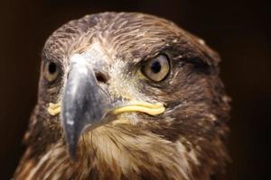 golden eagle head photo