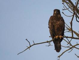 Angry Eagle photo