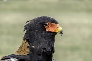 Bateleur eagle,snake eagle, beautiful close up head shot photo