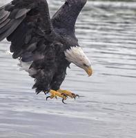 Bald eagle close up photo