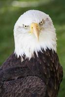 a águia curiosa