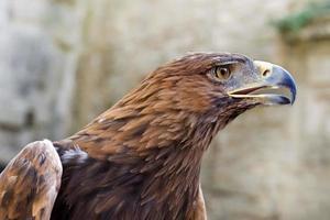 Golden Eagle ,Aquila chrysaetos photo