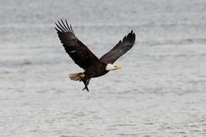 águila calva (haliaeetus leucocephalus) foto