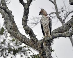 serpiente águila crestada, sri lanka foto