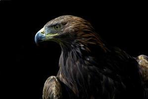 Golden Eagle photo