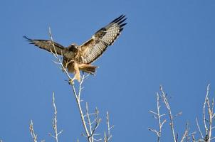 Red-Tailed Hawk Taking Off From The Tree Tops photo