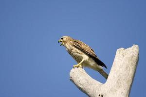 falco acuto shinned chiamando