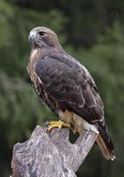 halcón de cola roja encaramado foto