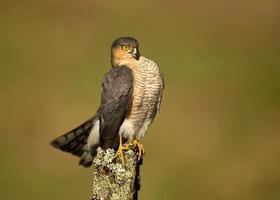 Eurasian Sparrowhawk (Accipiter nisus) perching