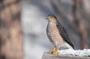 scharfhäutiger Falke