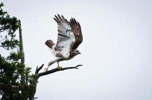 halcón de cola roja tomando vuelo foto