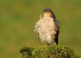 Adult Eurasian Sparrowhawk (Accipiter nisus) preening on a wooden post