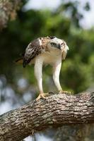 águila-halcón cambiable (nisaetus cirrhatus) foto