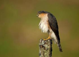 Eurasian Sparrowhawk (Accipiter nisus) preening on a wooden post