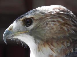 Hawk's stare photo
