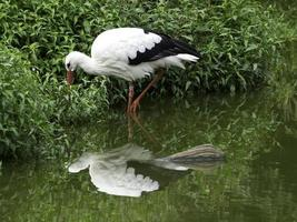 storch photo
