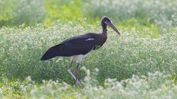 Abdim's Stork (Ciconia abdimii) in Etosha National Park