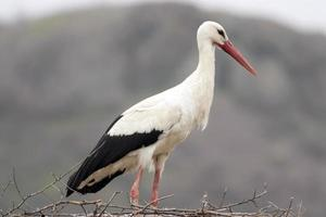White stork in nest