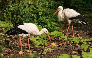 Couple of White storks photo