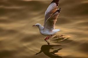 gaviota volando foto