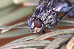 macro mosca morta