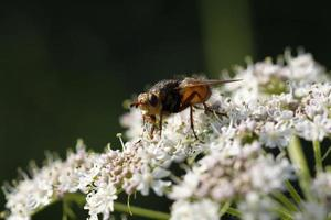 Fly on umbel plant