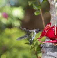 colibrí volando hacia alimentador foto
