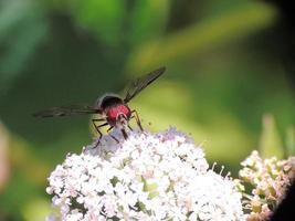 Hover fly Scaeva pyrastri 2 photo