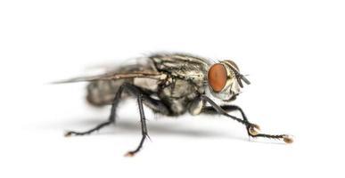 Flesh fly, Sarcophagidae, isolated on white photo