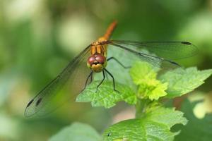 Darter Dragon Fly común foto