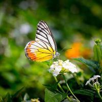 Mariposa vuela en la naturaleza de la mañana.